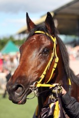 Gold Coast racehorse Shoot Out, Queensland's top chance in the 2010 Melbourne Cup and Cox Plate. Source: Ross Stevenson, with permission