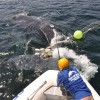 Shark nets pose threat to whale migration