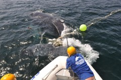 Sea World marine experts trying to free a humpback whale entangled in a shark net on the Gold Coast. (Photo credit: Sea World).